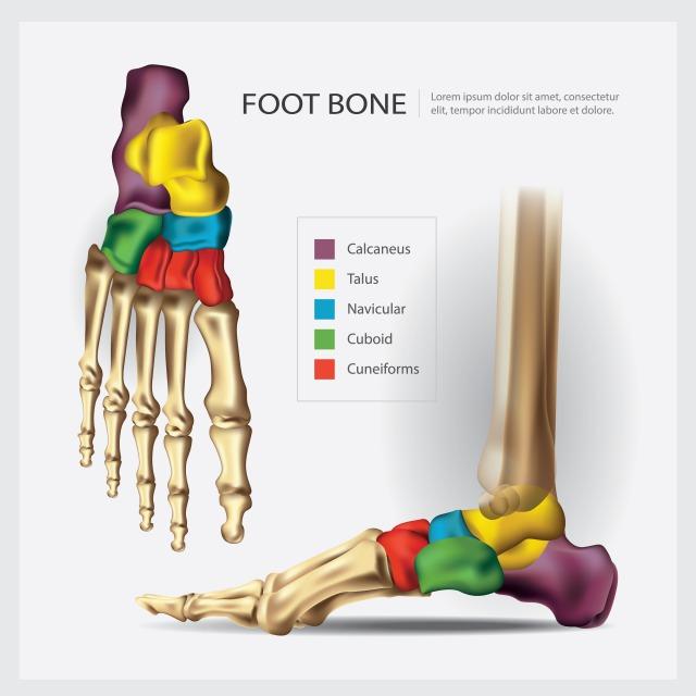 足の骨YSC